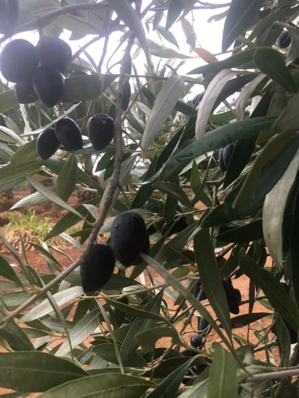 Olive Harvest 2020 - some good news! 2